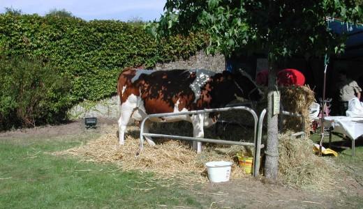 Nos amies les vaches...
